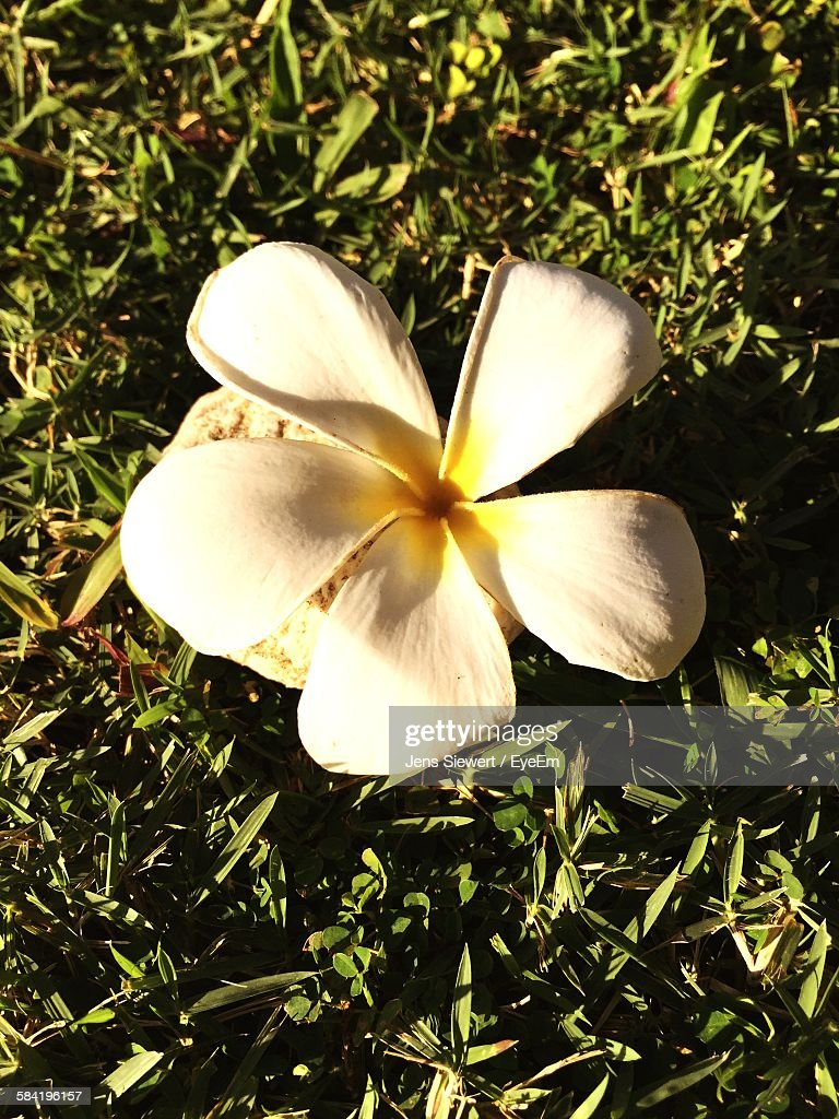 High Angle View Of Frangipani Blooming On Field : Stock-Foto