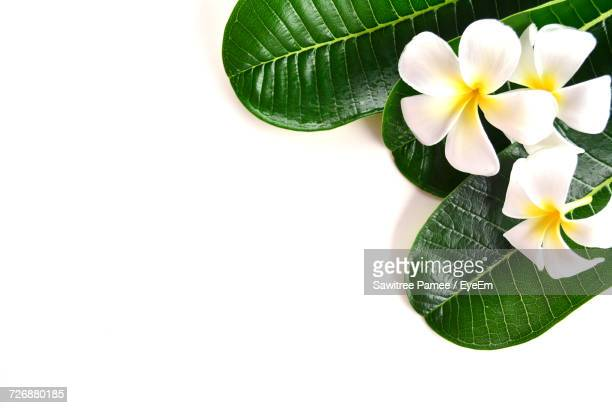 High Angle View Of Frangipanis And Leaves On White Background