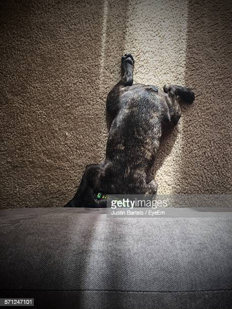 High Angle View Of French Bulldog Puppy Relaxing On Carpet At Home