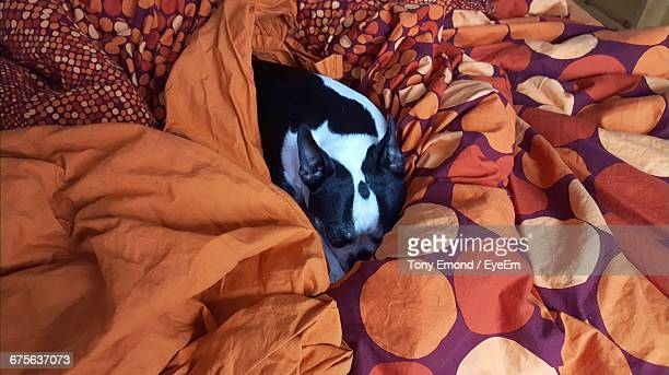 High Angle View Of French Bulldog Resting On Bed