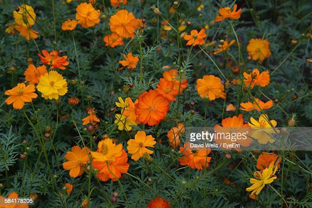 High Angle View Of Fresh Cosmos Flowers Blooming In Garden