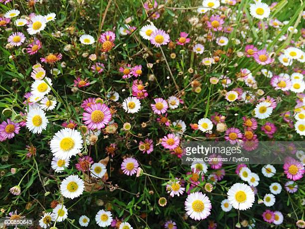 High Angle View Of Fresh Daisy Flowers Blooming In Garden