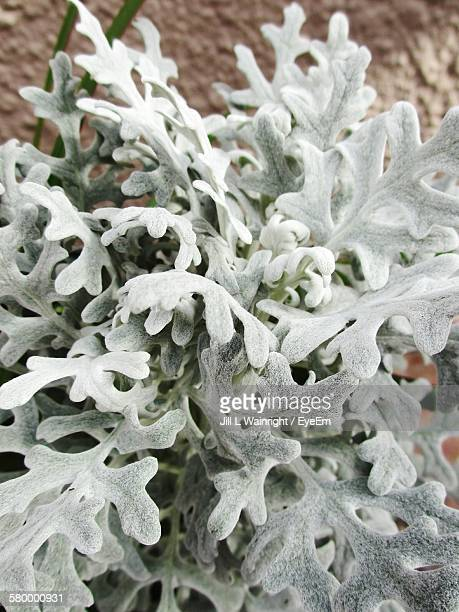 High Angle View Of Fresh Dusty Miller Plants