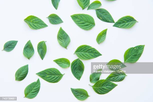 high angle view of fresh leaves over white background - blatt pflanzenbestandteile stock-fotos und bilder