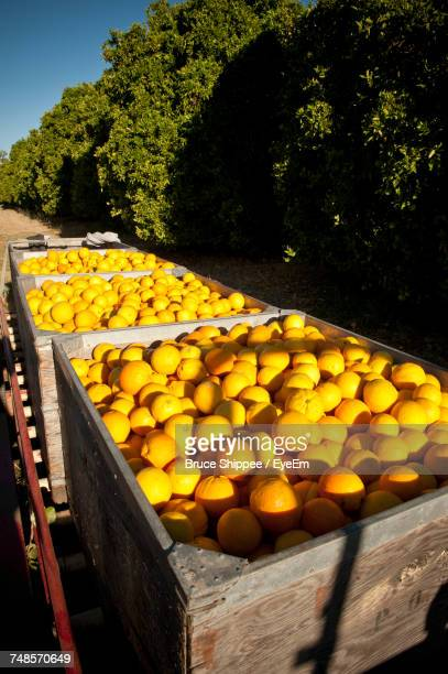 high angle view of fresh oranges in wooden crates at orchard - orange orchard stock photos and pictures