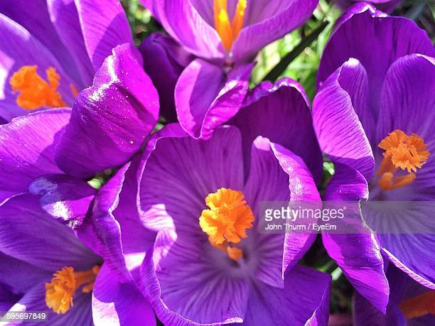 High Angle View Of Fresh Purple Crocus Flowers Blooming In Garden