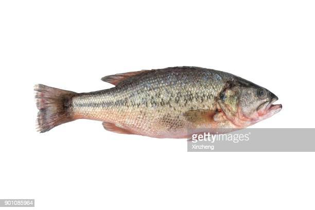 High Angle View Of Fresh Sea Bass Fish In Plate On White Background
