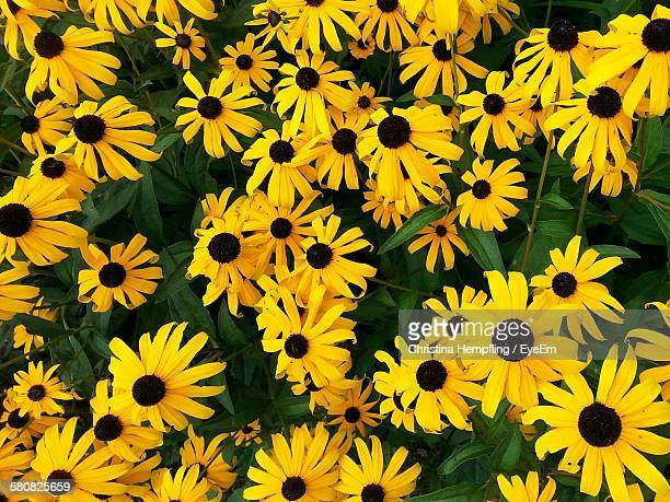 High Angle View Of Fresh Yellow Black-Eyed Susan Flowers Blooming In Garden