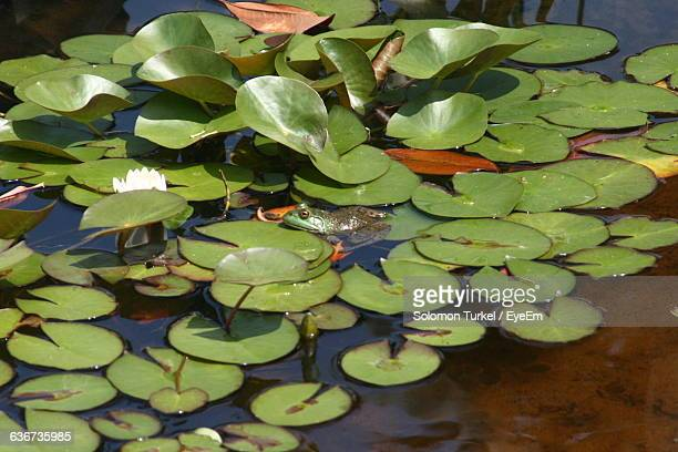 high angle view of frog amidst lily pads in pond - solomon turkel stock pictures, royalty-free photos & images