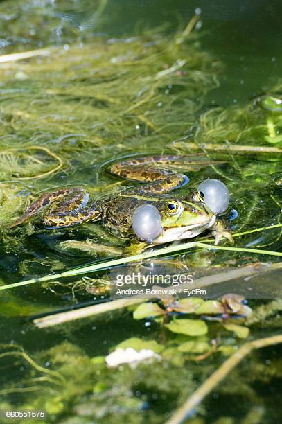 High Angle View Of Frog Croaking In Pond