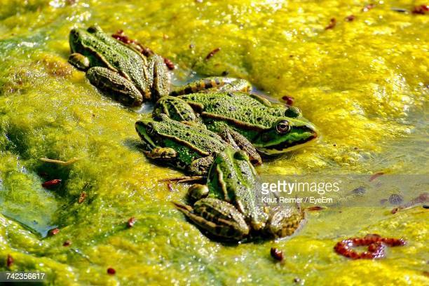 High Angle View Of Frogs On Seaweed