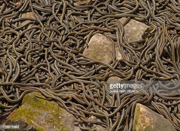 High Angle View Of Garter Snakes Mating On Field