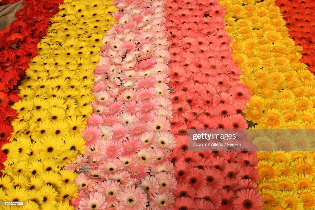 High Angle View Of Gerbera Daisies Arranged In Row Stock Photo