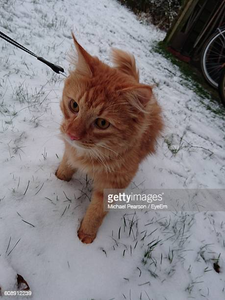 High Angle View Of Ginger Cat On Snowy Field