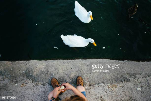 high angle view of girl feeding ducks swimming in lake - stagno acqua stagnante foto e immagini stock