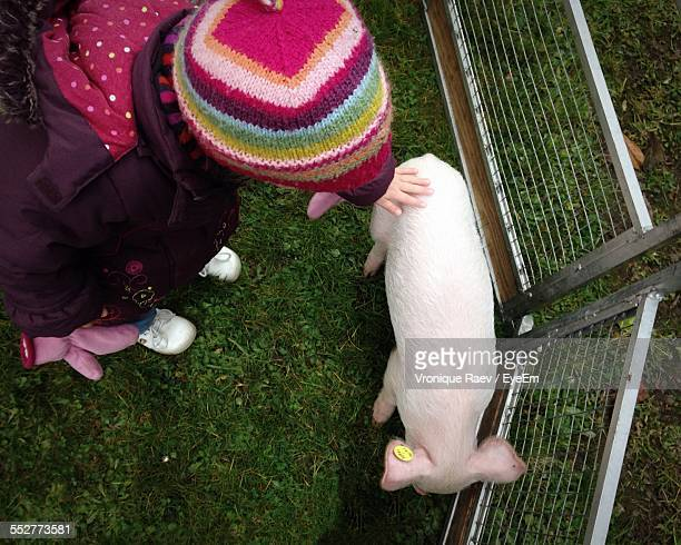 High Angle View Of Girl Touching Pig In Pen