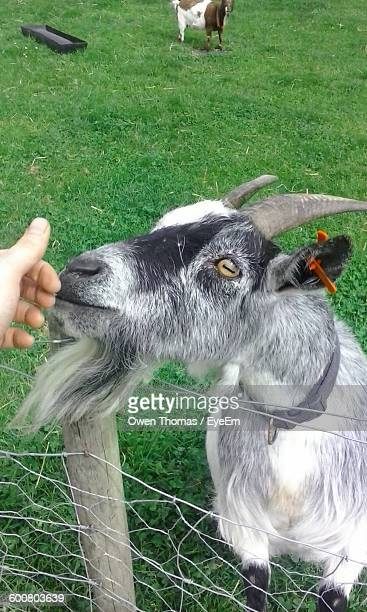 High Angle View Of Goat Standing By Fence At Field