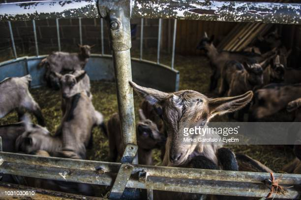 high angle view of goats in pen at farm - herbivorous stock pictures, royalty-free photos & images
