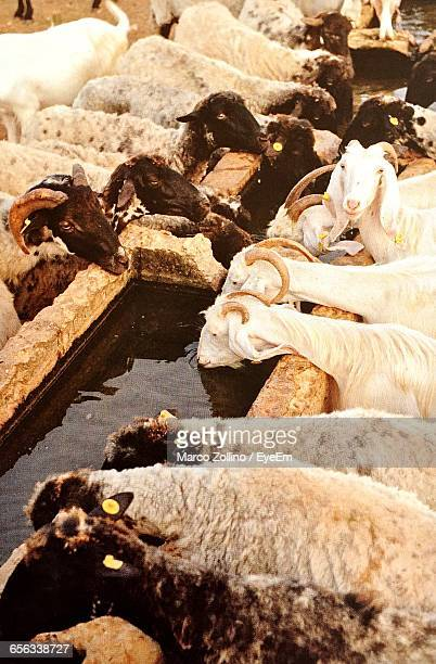 High Angle View Of Goats With Sheep Drinking Water From Trough