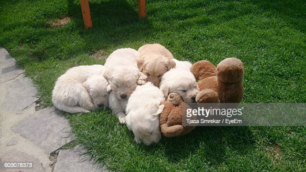 High Angle View Of Golden Retriever Puppies On Grassy Field