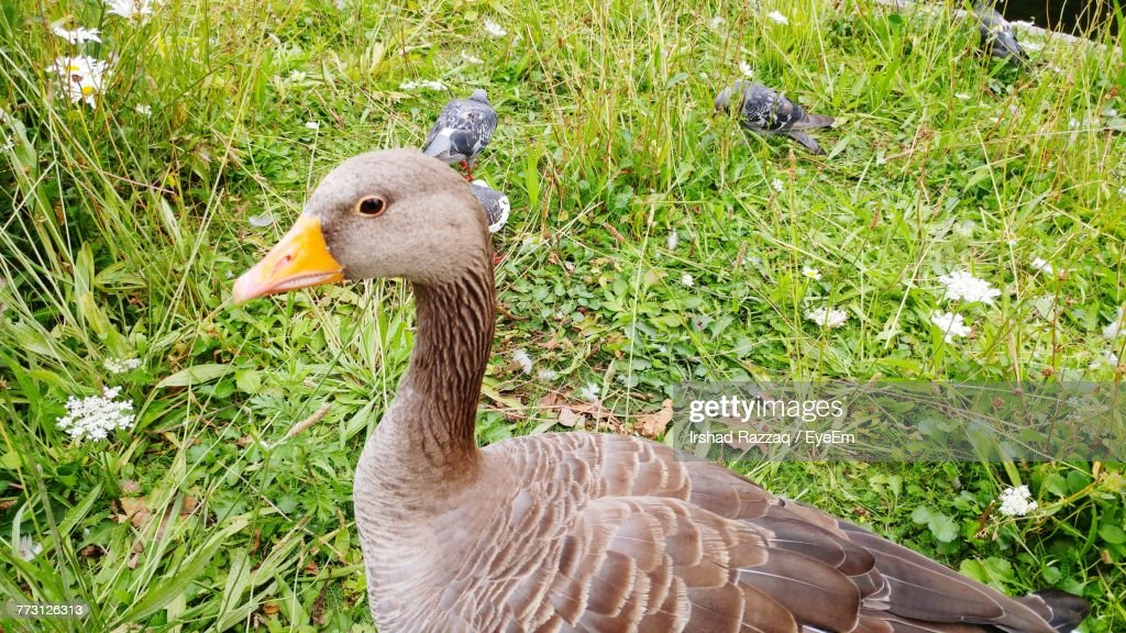 High Angle View Of Goose And Birds On Field : Stock Photo