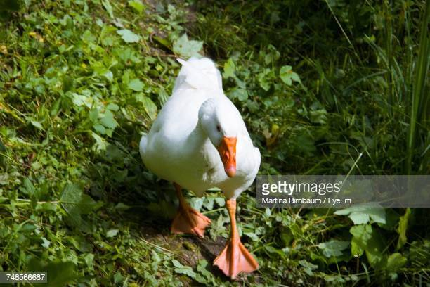 High Angle View Of Goose Walking On Field Amidst Plants