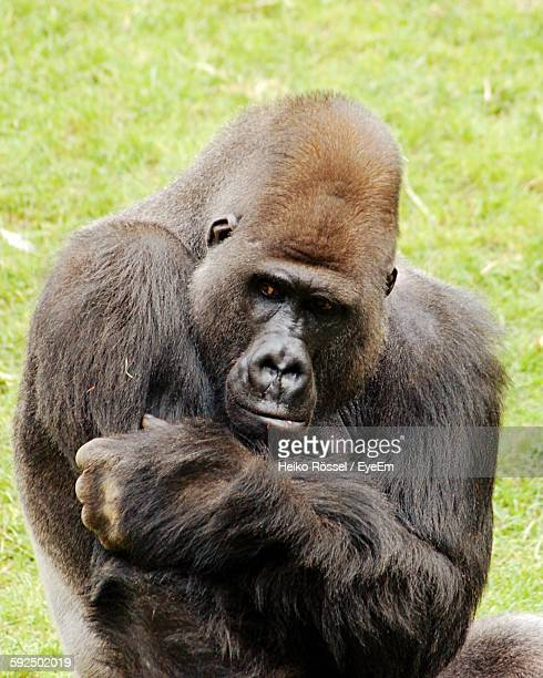 High Angle View Of Gorilla Sitting On Field