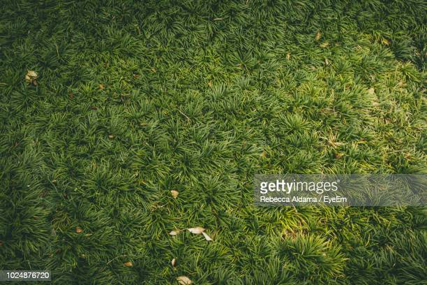 High Angle View Of Grass Growing On Field