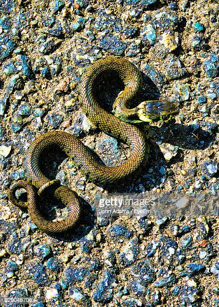 high angle view of grass snake on street - grass snake stock pictures, royalty-free photos & images