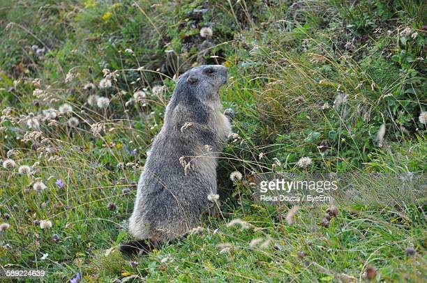 High Angle View Of Gray Marmot On Grassy Field