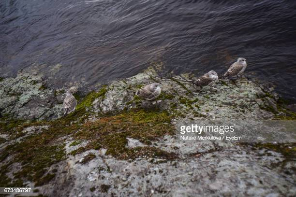 High Angle View Of Great Black-Backed Gulls On Rock By Lake