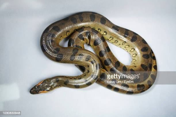 High Angle View Of Green Anaconda On White Background