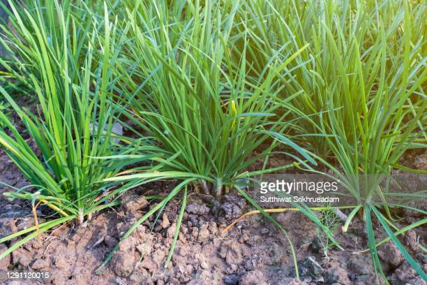 high angle view of green chives growing in garden - チャイブ ストックフォトと画像