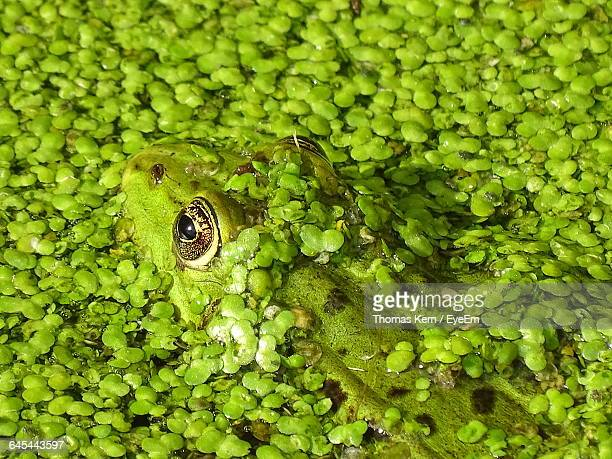 High Angle View Of Green Frog Amidst Plants In Pond