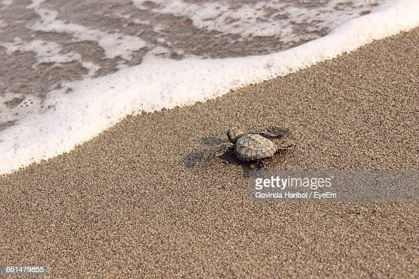 high angle view of green turtle hatching crawling towards sea - hatching stock photos and pictures
