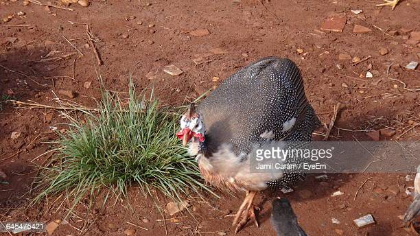 high angle view of guinea fowl on field - guinea fowl stock pictures, royalty-free photos & images