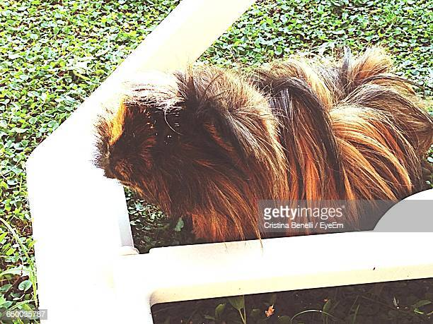 High Angle View Of Guinea Pig On Grassy Field