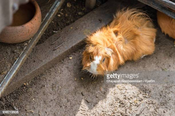 High Angle View Of Guinea Pig