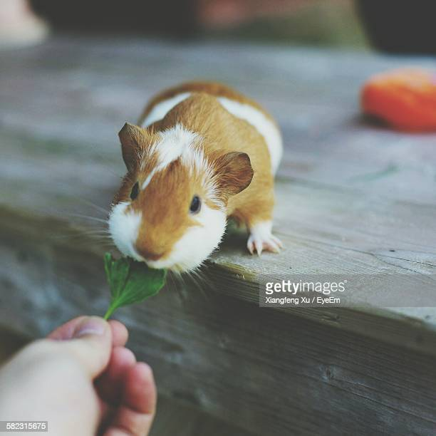 High Angle View Of Hand Feeding Leaf To Guinea Pig
