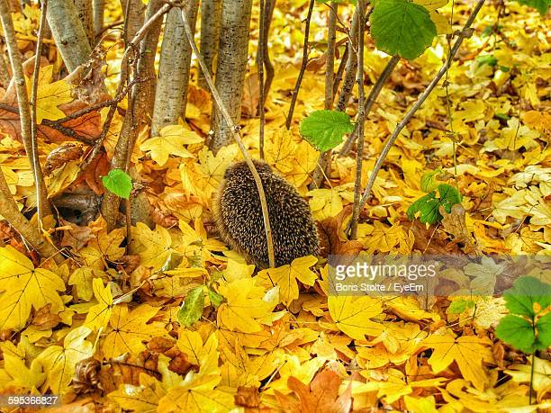 High Angle View Of Hedgehog On Field Covered With Yellow Autumn Leaves