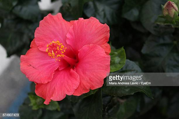 High Angle View Of Hibiscus Blooming In Garden