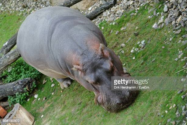 High Angle View Of Hippopotamus On Grassy Field