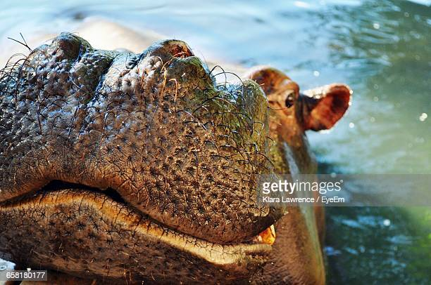 High Angle View Of Hippopotamus Swimming In Lake