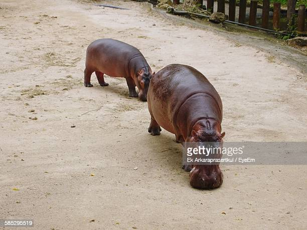 High Angle View Of Hippopotamus With Calf On Field