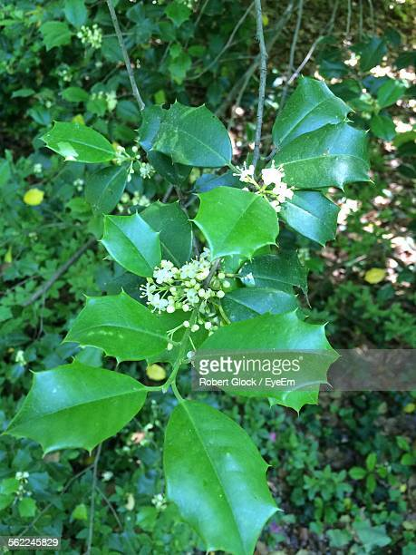 high angle view of holly leaves on tree - ヒイラギ ストックフォトと画像