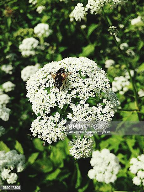 High Angle View Of Honey Bee On Cow Parsnip