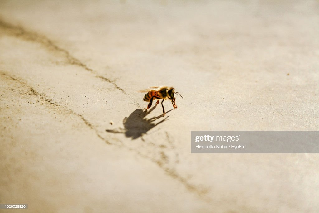 High Angle View Of Honey Bee On Field During Sunny Day : Stock Photo