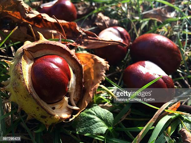 High Angle View Of Horse Chestnuts On Field