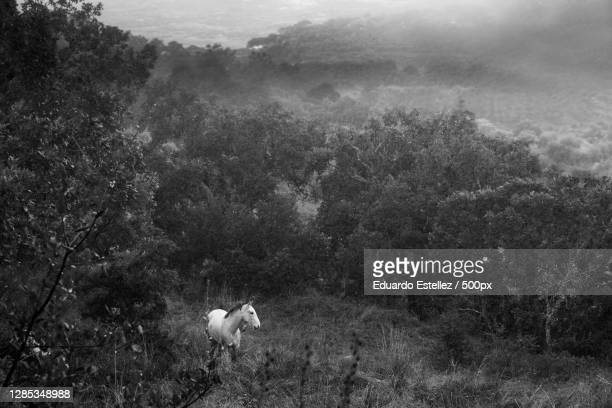 high angle view of horse standing in forest,extremadura,spain - blanco y negro stock-fotos und bilder