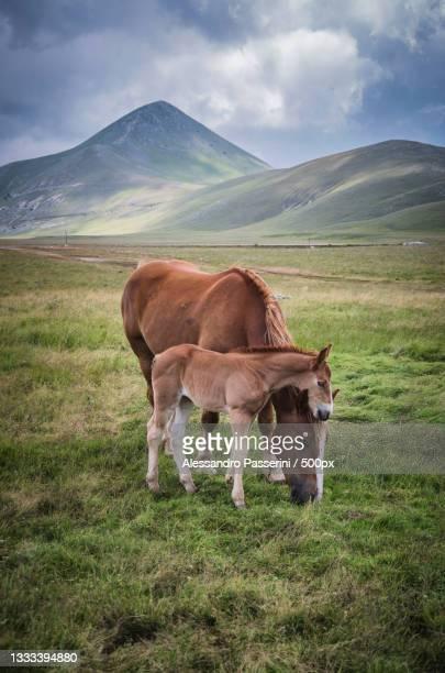 high angle view of horses grazing on grassy field,campo imperatore,italy - campo imperatore foto e immagini stock